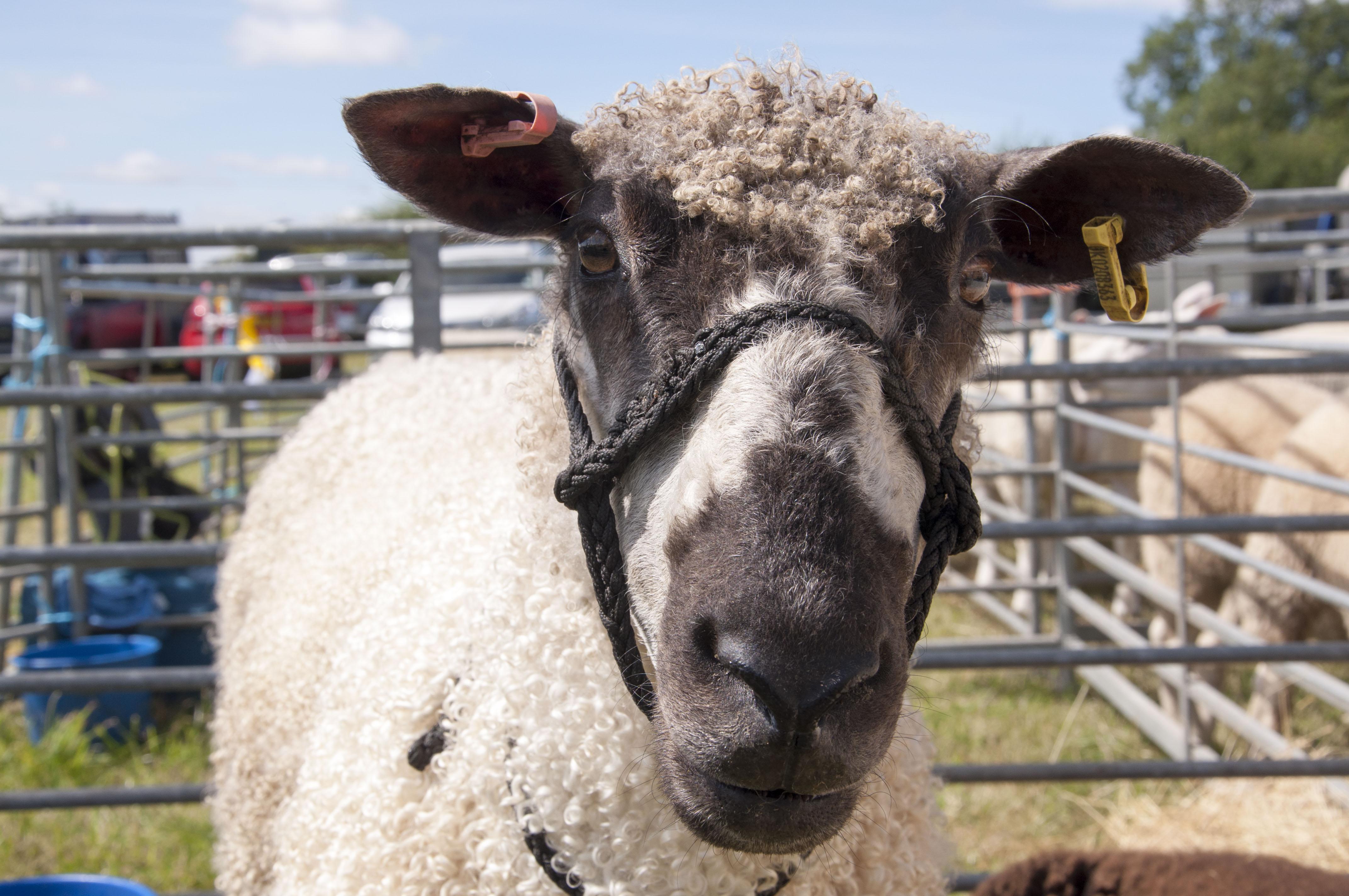 sheep 8