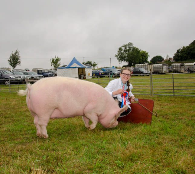 reserve champion pig