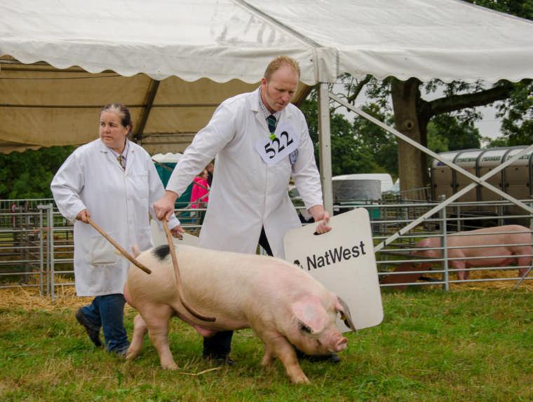 pig show 4